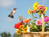 Male Hummingbird ready to feed on bright flowers — Stock Photo