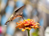 Hummingbird feeding on an orange Zinnia flower — Stock Photo