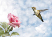 Dreamy image of a Hummingbird hovering close to a Rose — Stock Photo