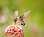 Tiny Hummingbird feeding on a light pink Zinnia flower — Stock Photo