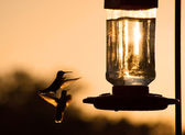 Silhouette of a Hummingbird hovering, getting ready to feed — Stock Photo