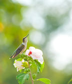 Ruby-throated hummingbird resting on an Althea flower — Stock Photo