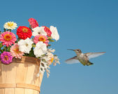 Beautiful young Hummingbird hovering next to a flower basket — Stock Photo