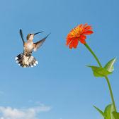 Female Ruby-throated hummingbird flying to an orange Zinnia flower — Stock Photo