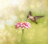 Dreamy image of a tiny female Hummingbird feeding on a pink Zinnia — Stock Photo