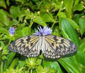 Paper Kite, Idea Leuconoe butterfly — Stock Photo