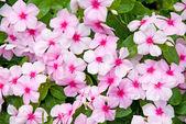 Colorful Impatiens Flowers — Stock Photo