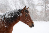 Red bay horse in heavy snow fall with snow all over her — Stock Photo