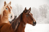 Frosty horses alerted to something in the distance — Stock Photo