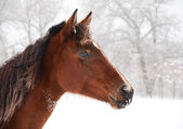 Frosty horse looking alerted on a cold foggy winter day — Stock Photo