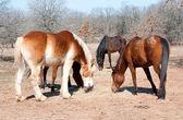 Horses sharing their hay — Stock Photo