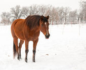Bay Arabian mare standing in snow, licking her lips — Stock Photo