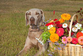 Weimaraner dog with a basket full of flowers in brilliant fall colors — Stock Photo
