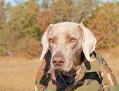 Weimaraner dog wearing a camo shirt — Stock Photo