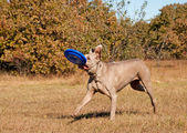 Weimaraner dog running with a frisbee — Stock Photo