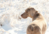 Weimaraner dog in a frozen, snowy winter world — Zdjęcie stockowe