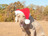 Humorous image of Santa's little canine helper — 图库照片