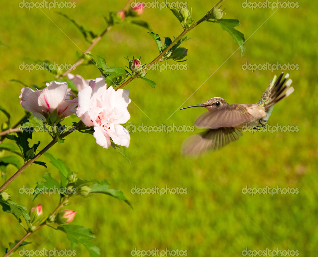 Ruby-throated Hummingbird hovering — Stock Photo #5565353