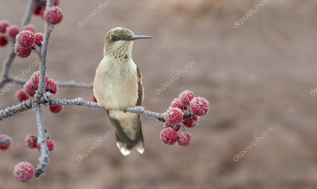 Lonesome, cold juvenile male Hummingbird on a frosty branch with red berries - wishing to be home for Christmas  Stock Photo #5565477