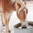 Foto Stock: BelgiDraft horse drinking water from water trough