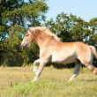 Handsome Belgian Draft horse galloping across pasture — Stock Photo