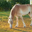 Beautiful Belgian Draft horse grazing — Stock Photo