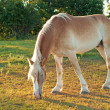 Beautiful Belgian Draft horse grazing — Stock Photo #5868777