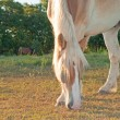 Close up of a beautiful Belgian Draft horse grazing in early morning sun — Stock Photo #5868804