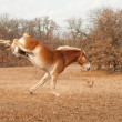 Huge Belgian Draft horse running and kicking out - Stock Photo