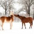 Two horses play fighting, biting each other in snow — Stock Photo