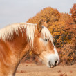 Stock Photo: Profile of beautiful blond BelgiDraft horse
