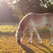 Beautiful Belgian Draft horse grazing in morning sun — Stock Photo