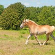 Stock Photo: BelgiDraft Horse in powerful trot
