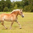 Stock Photo: Beautiful BelgiDraft horse in uphill trot across pasture
