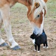 Big Belgian Draft horse  nibbling on a kitty cat — Stock Photo