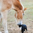 Royalty-Free Stock Photo: Large Belgian Draft horse nuzzling on a tiny kitty cat