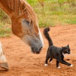 Belgian Draft horse following his tiny little black and white kitty cat fri — Stock Photo