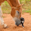 Foto Stock: BelgiDraft horse pushing his little kitty cat friend