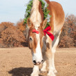 Handsome Belgian Draft horse in a Christmas wreath — Stock Photo #5869689