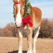Handsome Belgian Draft horse wearing a Christmas wreath — Zdjęcie stockowe