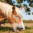 Stock Photo: Comical image of yawning BelgiDraft horse