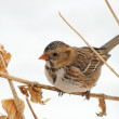 Harris's Sparrow perched on a dry flower stalk — Stock Photo #5869758