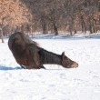 Stock Photo: Horse lying down to start good roll in snow