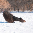 Horse lying down to start good roll in snow — Stock Photo #5869876