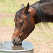 Stock Photo: Dark Bay Arabihorse drinking from water trough