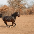 Stock Photo: Dark bay Arabihorse galloping across fall pasture