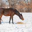 Dark bay horse eating his hay in snow — Stock Photo