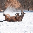 Dark bay Arabian horse rolling in snow — Stock Photo