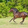 Beautiful dark bay Arabian horse galloping — Stock Photo