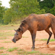 A dark bay Arabian horse shaking dirt off after an enjoyable roll — Stock Photo